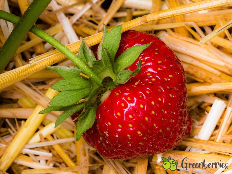 Erdbeeren anpflanzen - Erdbeere auf Stroh