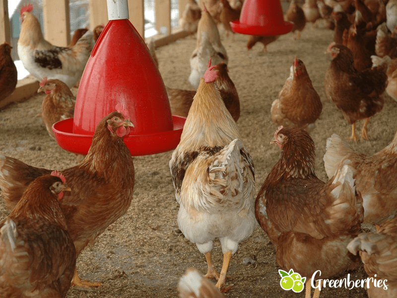 Legeleistung Huehner welche huehner legen viele eier