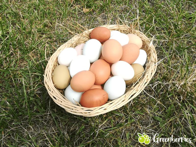 welche huehner legen viele eier