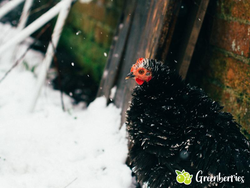 Hühner im Winter - Auslauf - Futter - Eier - Wasser - Frieren