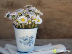 Gänseblümchen - Heilwirkung und Rezepte